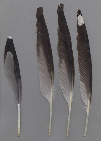 Bild von Federn der Art Larus fuscus (Heringsmöwe)