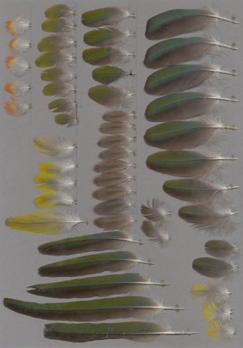Bild von Federn der Art Cyanoliseus patagonus (Felsensittich)