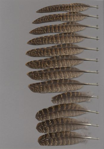 Exhibit of the species Tragopan temminckii