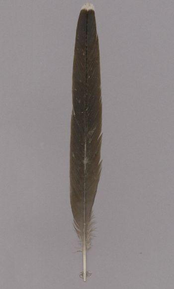 Bild von Federn der Art Clamator levaillantii (Kapkuckuck)