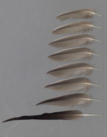 Bild von Federn der Art Anas acuta (Spießente)