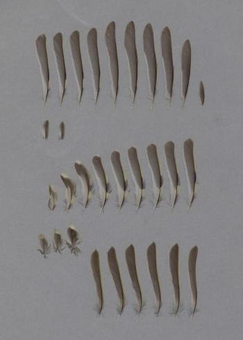 Exhibit of the species Regulus regulus