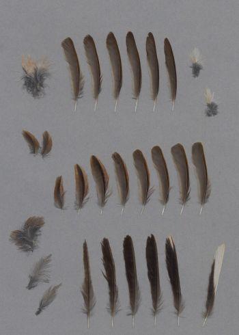 Exhibit of the species Sylvia conspicillata