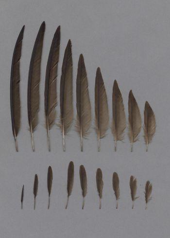 Exhibit of the species Apus pallidus