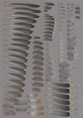 Exhibit of the species Bombycilla garrulus