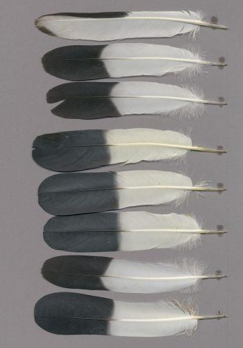 Exhibit of the species Ducula bicolor