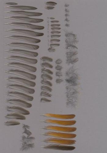 Exhibit of the species Phoenicurus ochruros