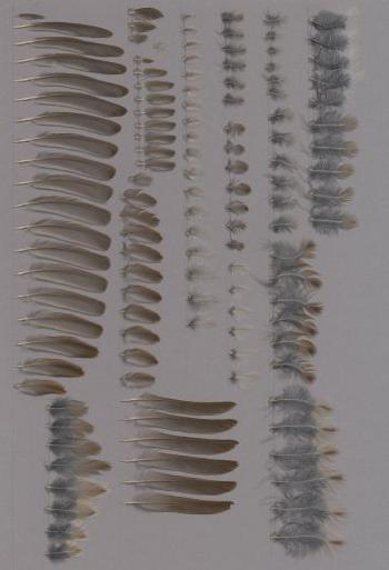 Exhibit of the species Prunella modularis