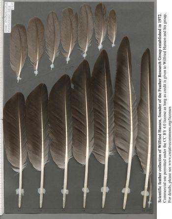 Bild von Federn der Art Anser brachyrhynchus (Kurzschnabelgans)