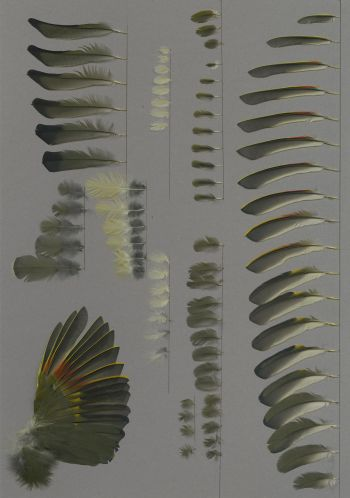 Bild von Federn der Art Leiothrix lutea (Sonnenvogel)