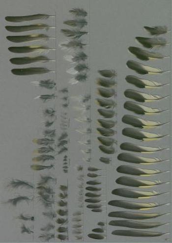 Bild von Federn der Art Spinus crassirostris (Dickschnabelzeisig)
