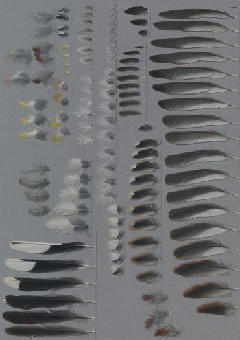 Bild von Federn der Art Emberiza flaviventris (Gelbbauchammer)