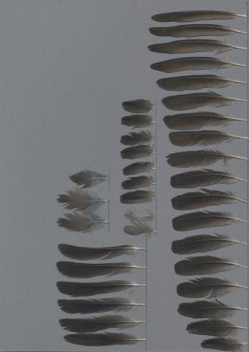 Bild von Federn der Art Molothrus ater (Braunkopf-Kuhstärling)