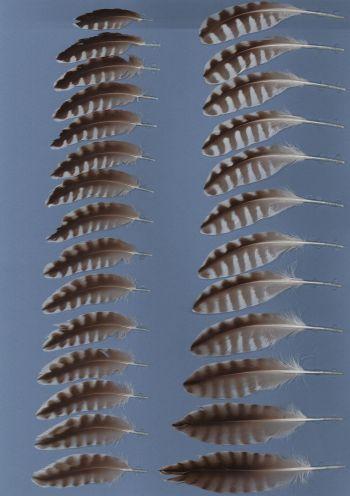 Bild von Federn der Art Numenius arquata (Großer Brachvogel)