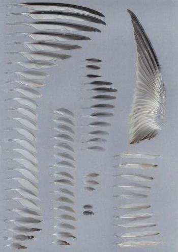 Bild von Federn der Art Sterna albifrons (Zwergseeschwalbe)
