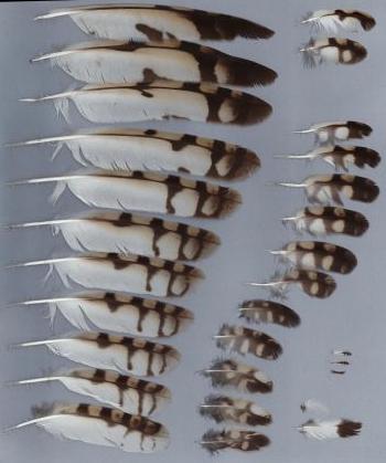 Bild von Federn der Art Asio flammeus (Sumpfohreule)