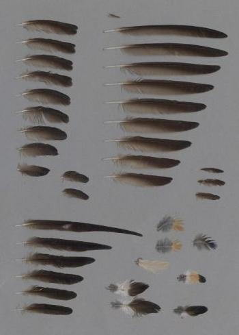 Bild von Federn der Art Cecropis daurica (Rötelschwalbe)