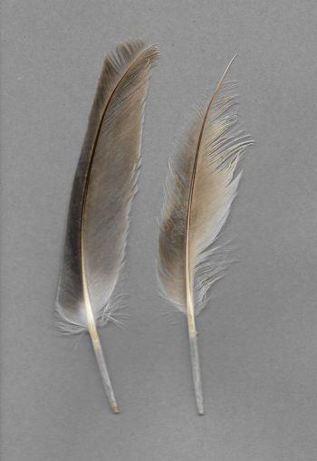 Bild von Federn der Art Pelecanus occidentalis (Braunpelikan)