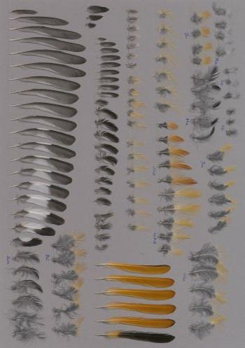 Bild von Federn der Art Phoenicurus auroreus (Spiegelrotschwanz)
