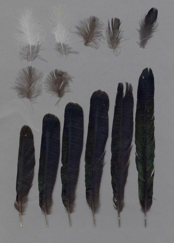 Bild von Federn der Art Pica pica (Elster)