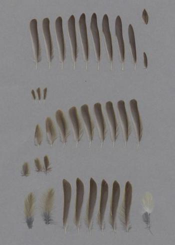 Bild von Federn der Art Phylloscopus collybita (Zilpzalp)