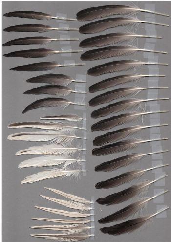 Bild von Federn der Art Gavia stellata (Sterntaucher)