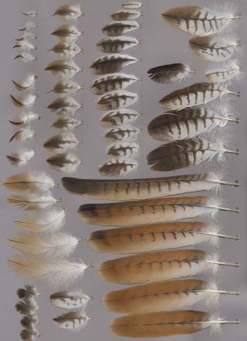 Bild von Federn der Art Milvus milvus (Rotmilan)