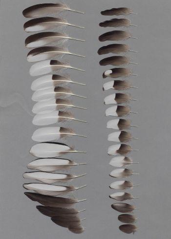Bild von Federn der Art Mergus serrator (Mittelsäger)