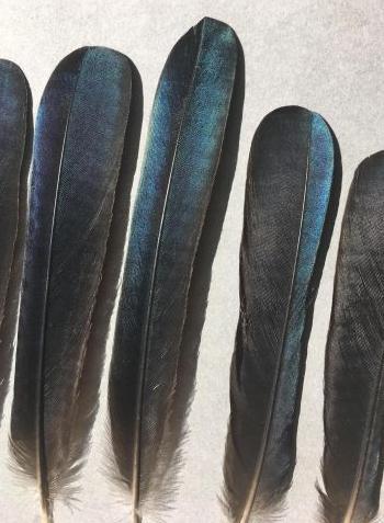 Bild von Federn der Art Quiscalus quiscula (Purpurgrackel)