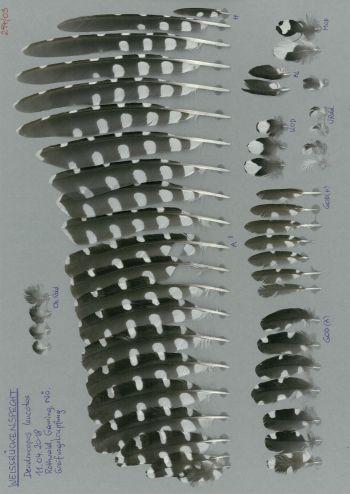 Bild von Federn der Art Dendrocopos leucotos (Weißrückenspecht)
