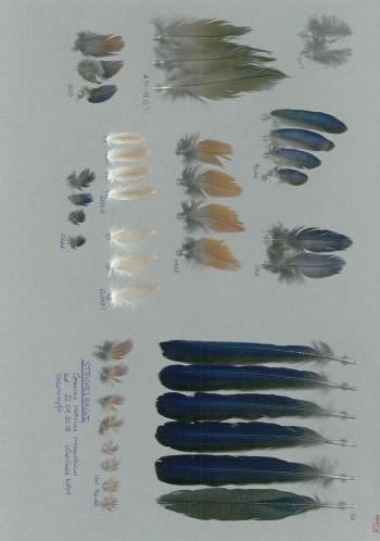 Bild von Federn der Art Coracias naevius (Strichelracke)