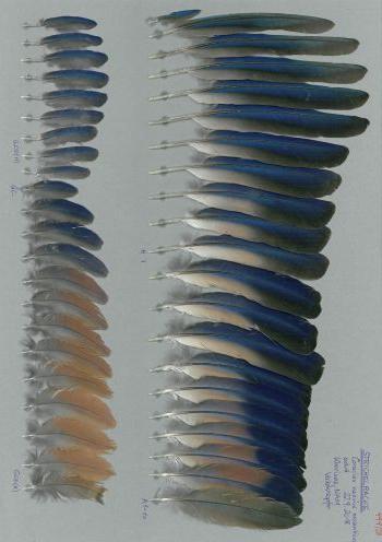 Exhibit of the species Coracias naevius