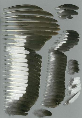 Bild von Federn der Art Lyrurus tetrix (Birkhuhn)