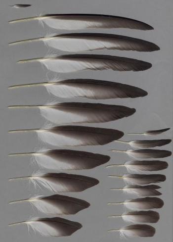 Bild von Federn der Art Calonectris diomedea (Gelbschnabel-Sturmtaucher)