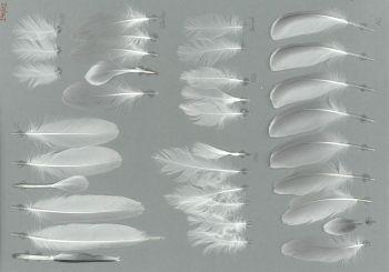 Bild von Federn der Art Sterna hirundo (Flussseeschwalbe)