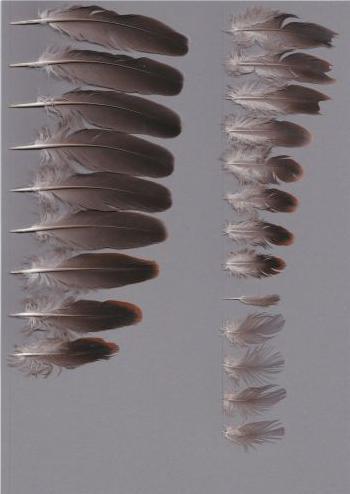Bild von Federn der Art Streptopelia orientalis (Orientturteltaube)