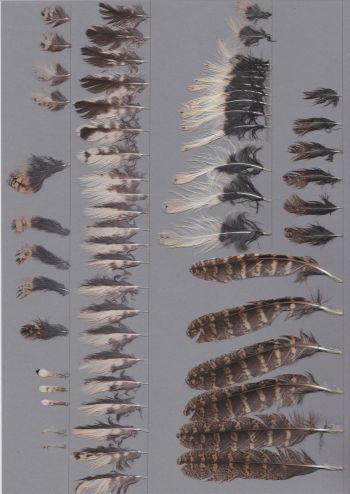 Bild von Federn der Art Otus semitorques (Japan-Zwergohreule)