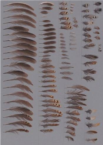 Bild von Federn der Art Turnix suscitator (Bindenlaufhühnchen)