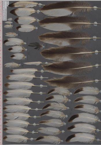 Bild von Federn der Art Phoenicopterus roseus (Rosaflamingo)
