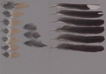 Bild von Federn der Art Saltator aurantiirostris (Lachsschnabelsaltator)