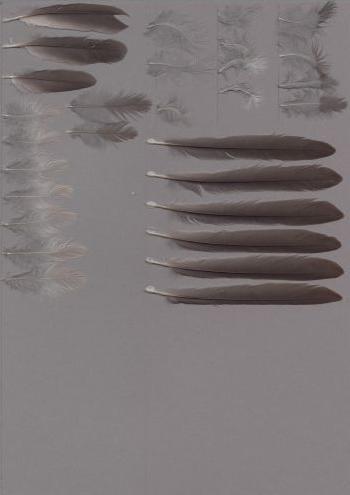 Bild von Federn der Art Lipaugus vociferans (Tiefland-Graupiha)