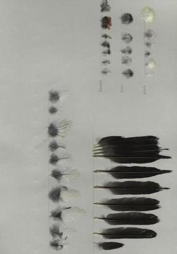 Bild von Federn der Art Melanerpes formicivorus (Eichelspecht)