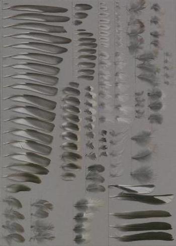 Exhibit of the species Fringilla coelebs