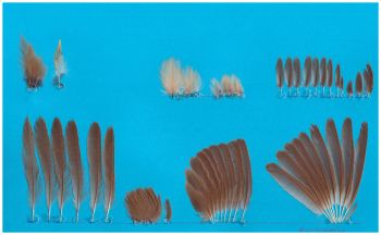Exhibit of the species Acrocephalus arundinaceus