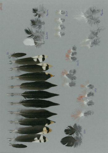 Bild von Federn der Art Dendrocopos major (Buntspecht)