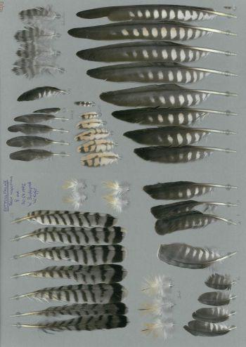 Exhibit of the species Falco vespertinus