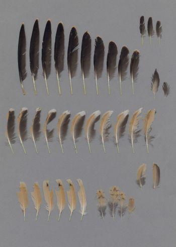 Exhibit of the species Cursorius cursor