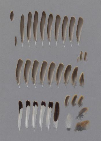 Exhibit of the species Oenanthe hispanica