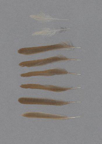 Bild von Federn der Art Iduna opaca (Isabellspötter)