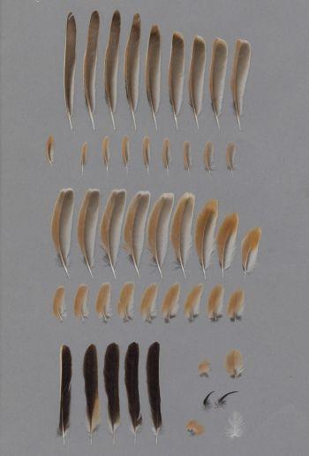 Exhibit of the species Eremophila bilopha